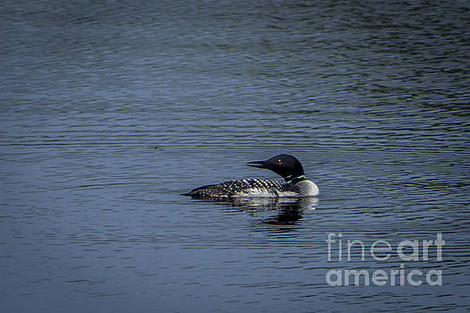 Loon after Dragon Fly by Marj Dubeau