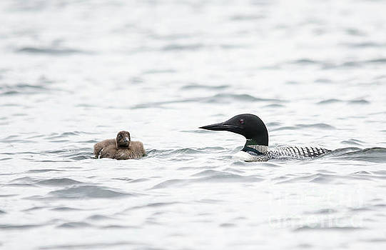 Loon Chick and Parent by Cheryl Baxter