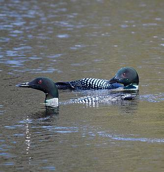 Loon Couple on the River by Sheila Price