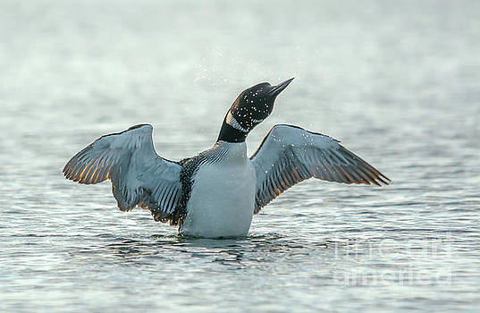Loon Flapping Wings by Cheryl Baxter
