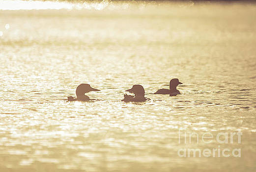 Loon Silhouettes by Cheryl Baxter