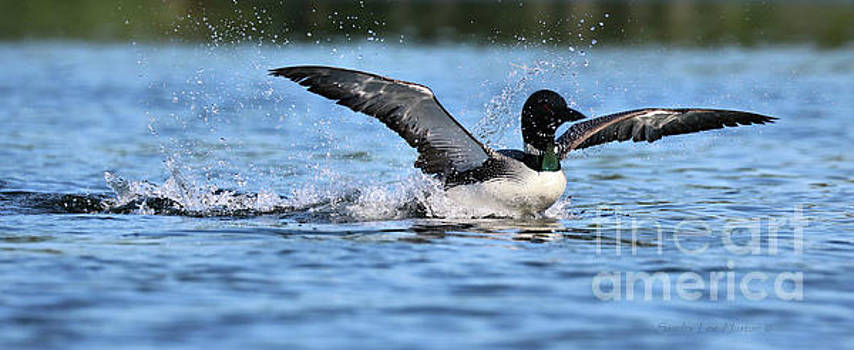 Sandra Huston - Loon Take Off Up Close