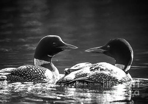 Loons in Black and White by Cheryl Baxter