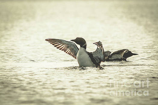 Loons on the Lake by Cheryl Baxter