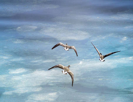 Loons Over Ice - Three by Vicki Jauron