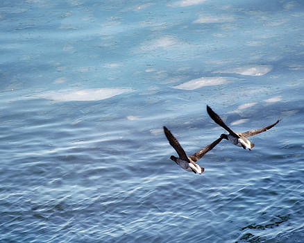 Loons Over Ice - Two by Vicki Jauron