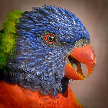 Lorikeet by Lisa Plymell