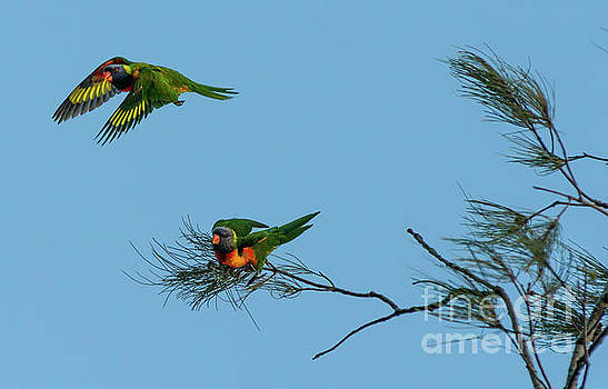Lorikeets by Andrew Michael