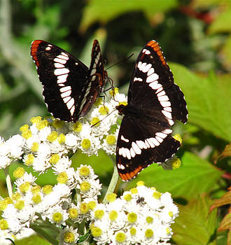 Lorquin's Admiral by Tracey Levine