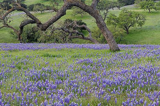 Los Olivos Lupine Wildflowers by Dean Hueber