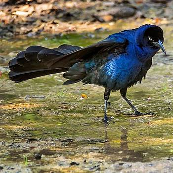 Lots Of #grackles Fighting In The Park by Kanokwalee Pusitanun