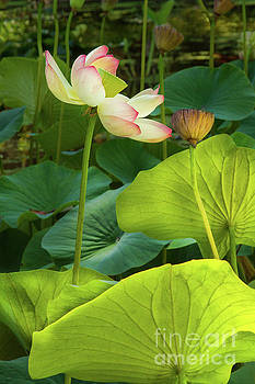 Lotus and Light by Marilyn Cornwell