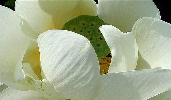Fran Kelly - Lotus Blossom