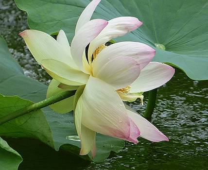 Lotus Blossom by Susan Ferency