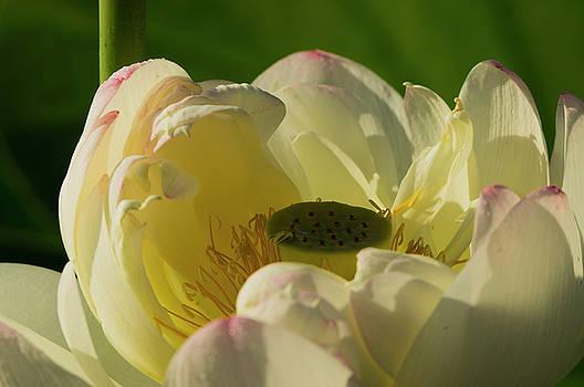 Lotus Flower 4 by Buddy Scott