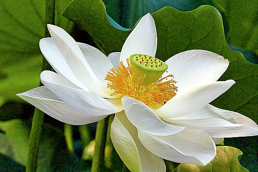 Lotus FLower by Geraldine Scull