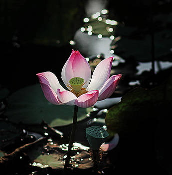 Lotus Flower by Tran Minh Quan