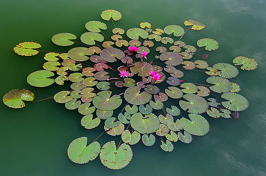 Lotus in green pond by Noppakun Wiropart