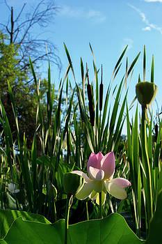 Lotus Landscape 2 by Buddy Scott