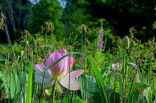 Lotus Landscape 3 by Buddy Scott