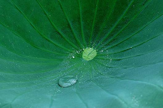 Lotus Leaf rain drop by Buddy Scott