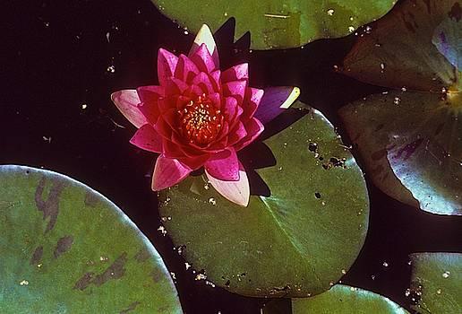 Lotus by Mansour Zadrafie