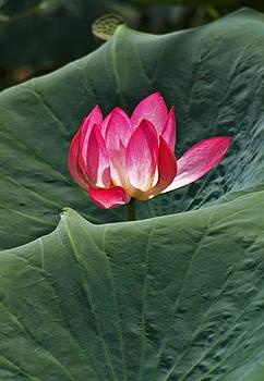Lotus by Pamela Kelly Phillips