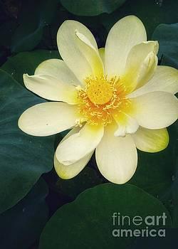 Lotus by Sallie Anderson