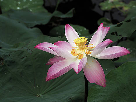 Lotus by Tran Minh Quan