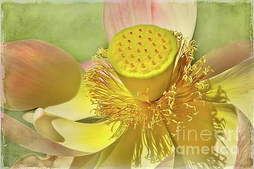 Lotusland Lotus by Marilyn Cornwell