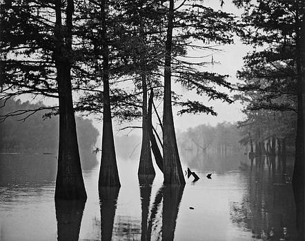 Louisiana Bayou Cypress by John Gilroy