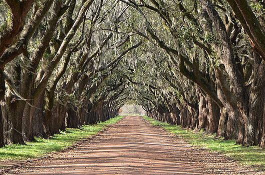 Louisiana Oaks by Charlotte Schafer