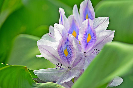 Spade Photo - Louisiana Water Hyacinth