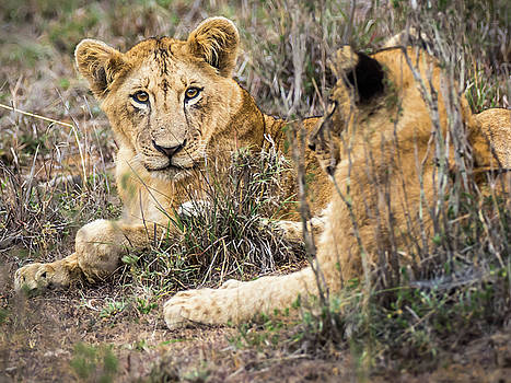 Lounging Lions  by Robin Zygelman