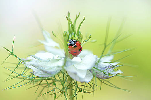 Love in a mist Lady by Jacky Parker