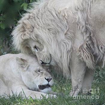 Love Lions by Gaby Tench