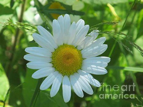 Love Me Daisy by Loretta Pokorny