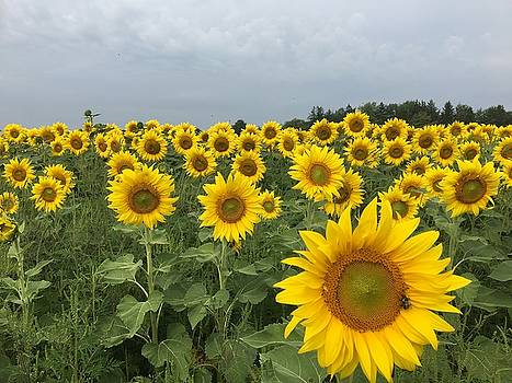 Love My Sunflowers by Heidi Moss