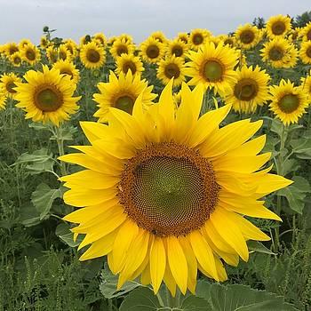 Love Sunflowers by Heidi Moss