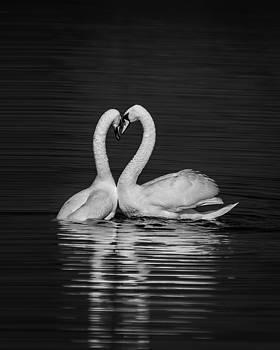Love Swans by Nigel Spencer