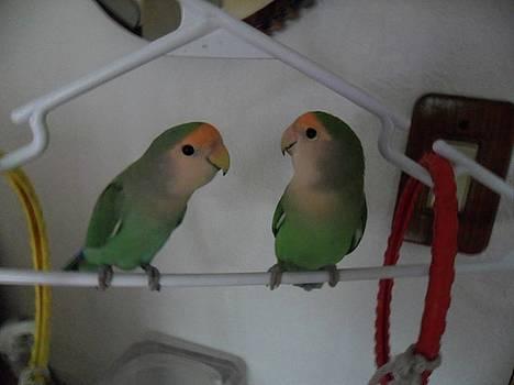 Lovebirds by Val Oconnor