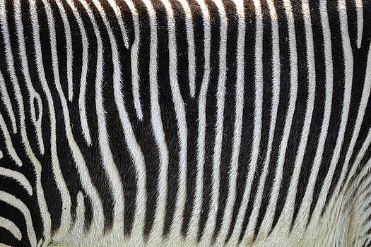 Lovely Grevy's Zebra Equus Grevyi close up of striped fur by Matthew Gibson