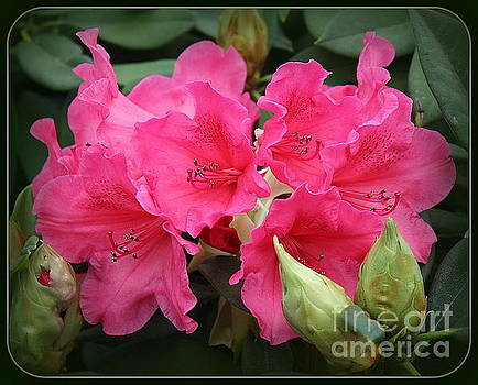 Lovely in Pink - Rhododendron by Dora Sofia Caputo Photographic Art and Design