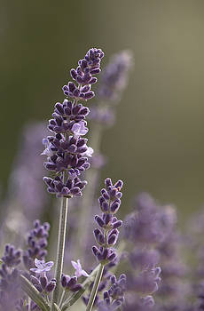 Lovely Lavender by Silke Tuexen