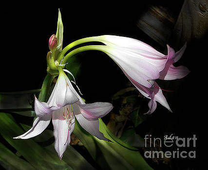 Felipe Adan Lerma - Lovely Lilies Dual Bloom