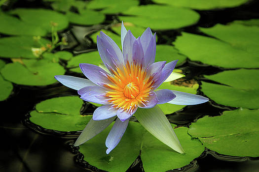 Lovely Nymphaea by Bonnie Follett