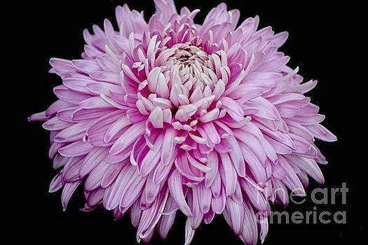 Lovely Pink Chrysanthemum  by Jeannie Rhode