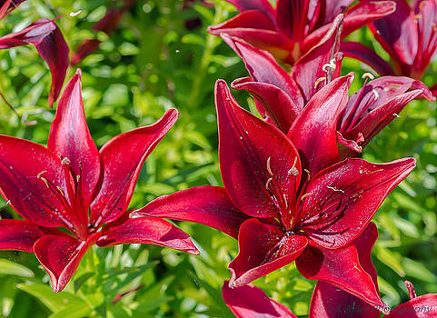 Lovely Red Lilies by Andrew Miles