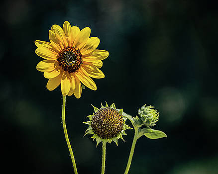 Lovely Sunflower by Janis Knight