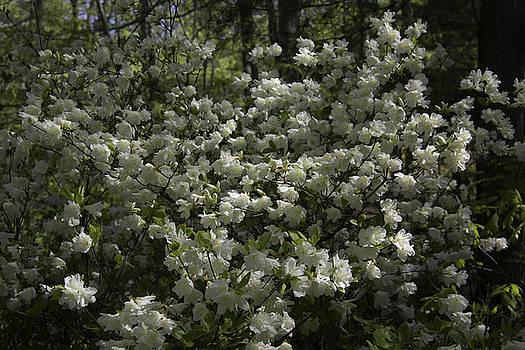 Teresa Mucha - Lovely White Azaleas at Happy Hollow Gardens